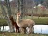 alpacas-by-the-pond